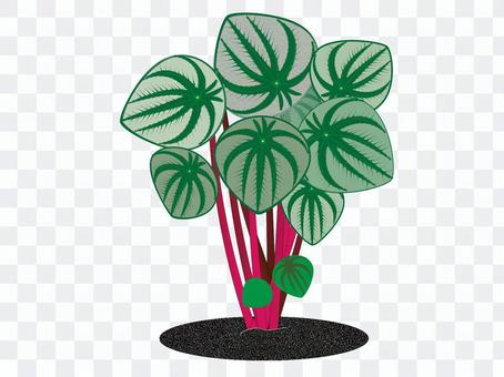 室內植物Peperomia(Sandersii)