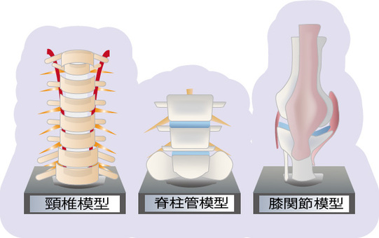骨(脊椎・颈椎・膝关节)模型