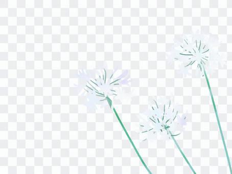 Agapanthus白色