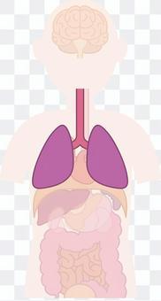 人體內部器官的肺部