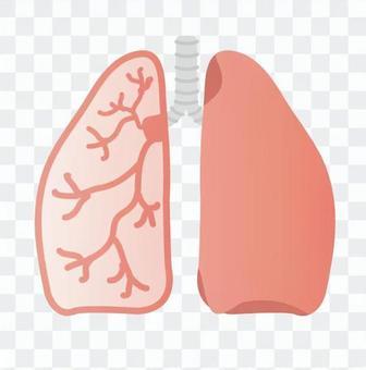 肺(橫截面)