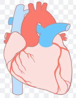 心臟血管,冠狀動脈循環