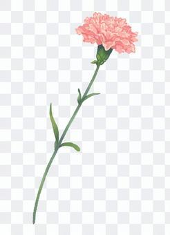 カーネーション ピンク