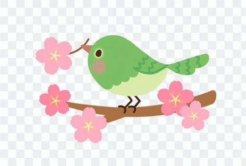 櫻花的分支和分支
