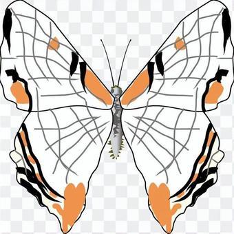 常見的地圖翅膀,y科,昆蟲