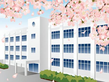 学校建设5棵樱花