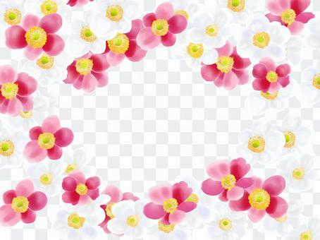 淑竹(Shumayigiku)白粉紅色