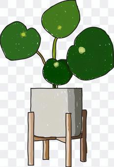 觀賞植物Peperomia