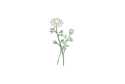 One point chamomile