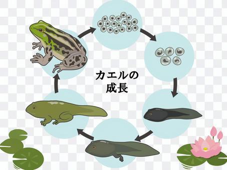 蓮信的Tososama青蛙的生長