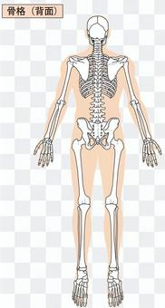 全身骨骼(背部)