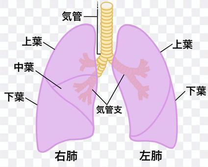 肺,氣管,支氣管