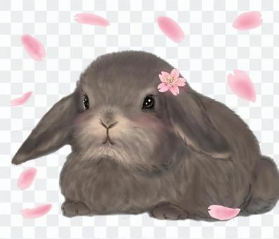 醬耳兔,櫻花和花瓣櫻花暴風雪