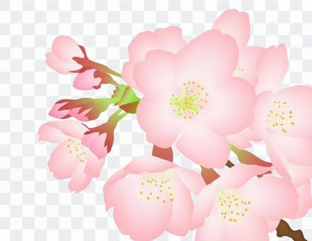 櫻花分支_櫻花