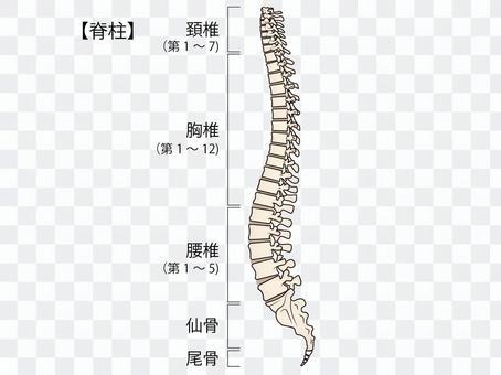 脊柱和說明圖
