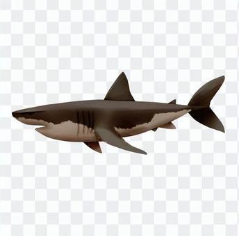 White shark shark
