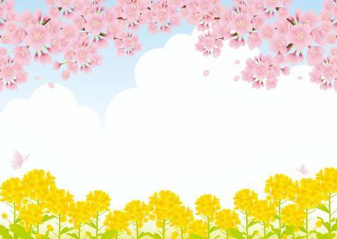 強姦花和櫻花