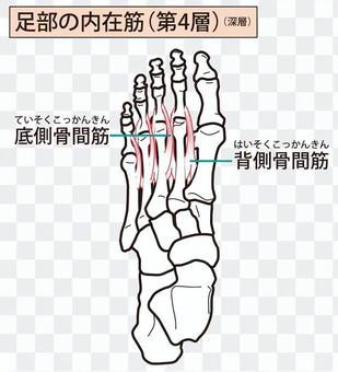 足部の内在筋(第4層)