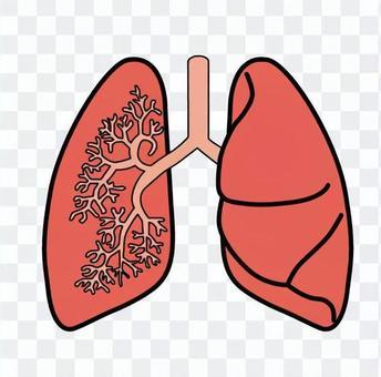 肺的橫截面