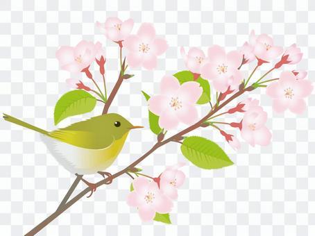 櫻花和Ugisu