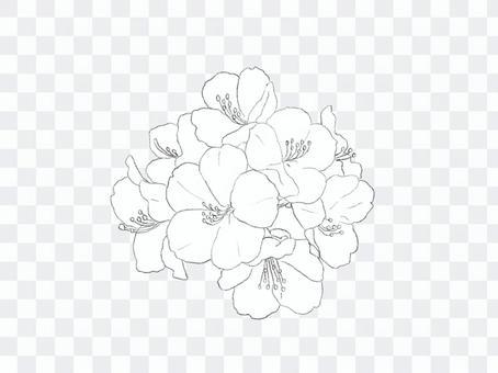Shakunage素描