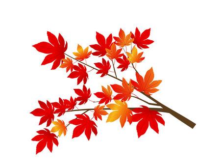 楓樹(秋葉)的插圖