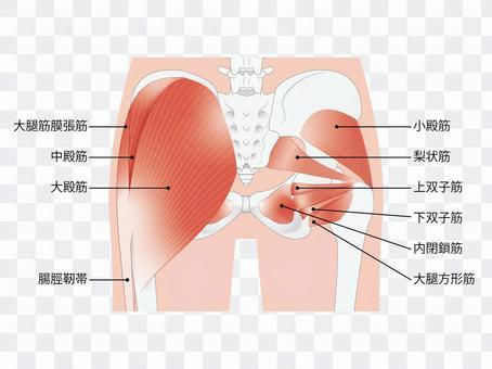 骨盤と臀部の筋