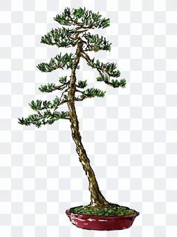 文人木の黒松盆栽