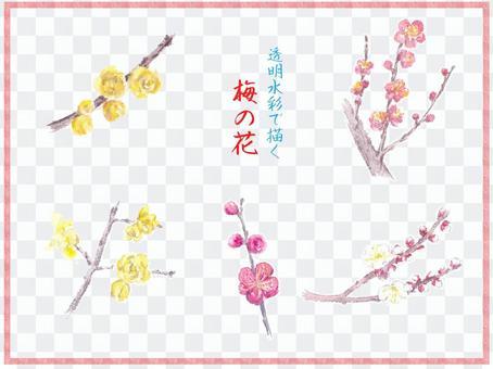 梅花設置繪圖與透明的水彩