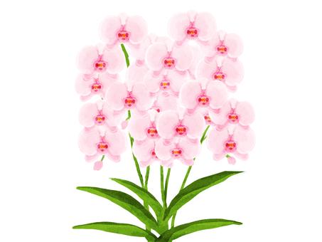 Phalaenopsis (pink)