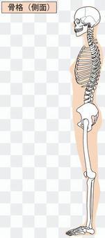 全身骨骼(侧面)