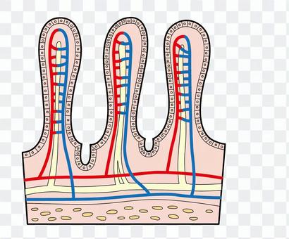 小腸の絨毛