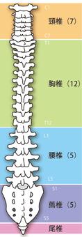 脊椎(背面)