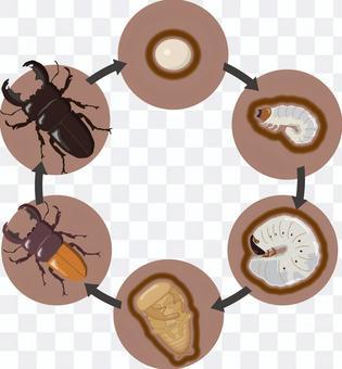 鍬形甲蟲的生長