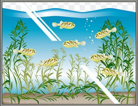 ミドリフグ フグ 鑑賞魚 魚 水槽