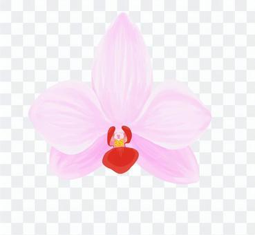 粉紅色的蝴蝶蘭