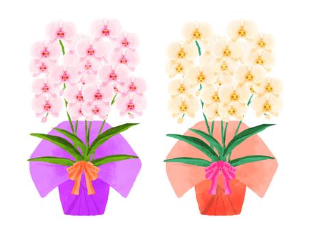 Phalaenopsis orchid (present)