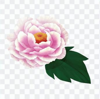 Thin pink peony