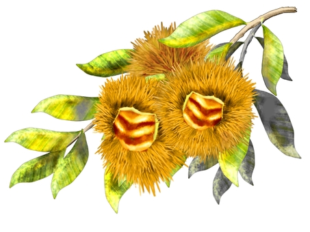 Chestnuts (fruits, branches, leaves)