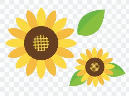 向日葵(向日葵)