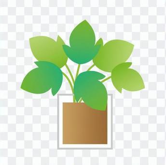 Houseplant - Ivy (hydroculture)