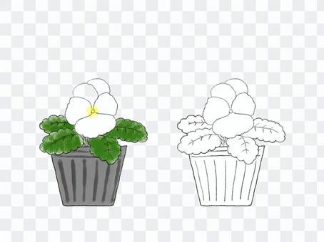花苗09紫羅蘭