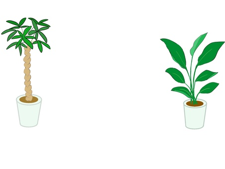 觀賞植物 Pachira 和鶴望蘭