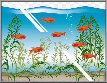 橙色矮人古拉米欣賞魚缸