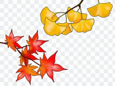 楓樹和銀杏