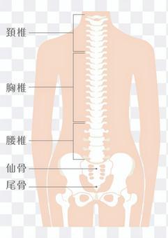 人體脊柱(脊柱)