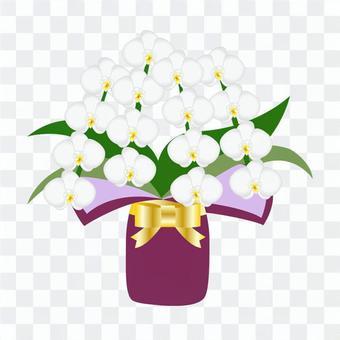 Phalaenopsis: Phalaenopsis