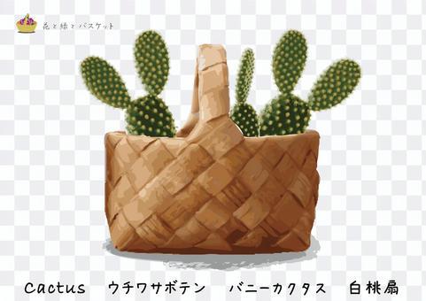 花綠色籃子花梨仙人掌A