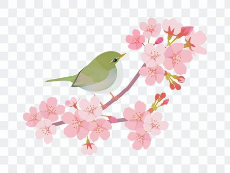 Sakura and warbler