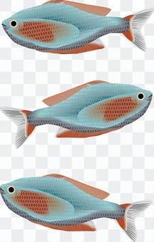 霓虹燈矮人雷恩博欣賞魚熱帶魚